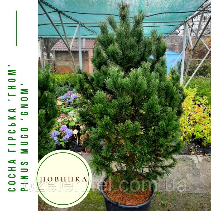 Сосна гірська 'Гном' Pinus mugo 'Gnom'h  1,4-1,6