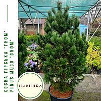 Сосна гірська 'Гном' Pinus mugo 'Gnom'h  1,4-1,6, фото 1