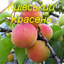 "Саженцы абрикоса ""Киевский Красень"""