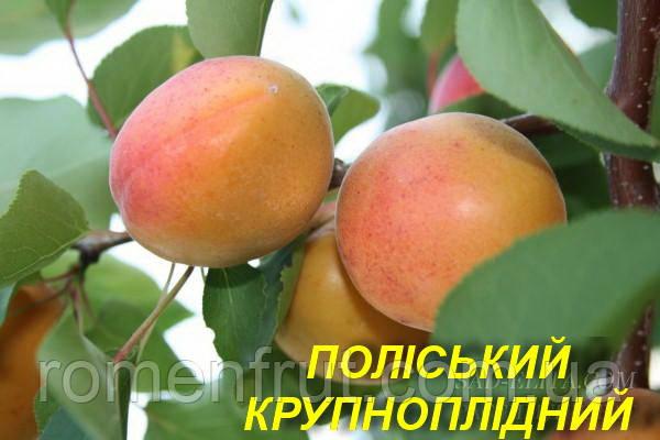 """Саженцы абрикоса """"Полесский Крупноплодный"""""""