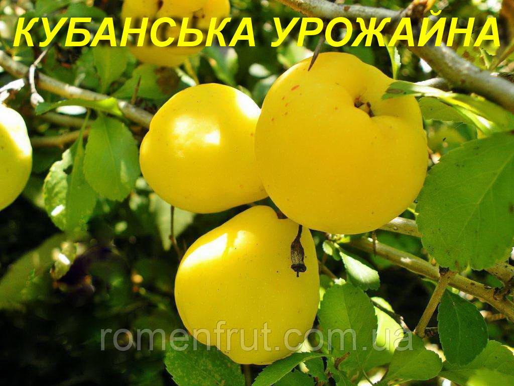 """Саженцы айвы """"Кубанская  Урожайная"""""""