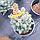 Ялина 'Ізелі Фастігіата' Picea pungens 'Iseli Fastigiate' h 70 - 80 м, фото 6