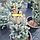 Ялина 'Ізелі Фастігіата' Picea pungens 'Iseli Fastigiate' h 70 - 80 м, фото 5