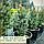 Ялина 'Ізелі Фастігіата' Picea pungens 'Iseli Fastigiate' h 70 - 80 м, фото 2