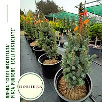Ялина 'Ізелі Фастігіата' Picea pungens 'Iseli Fastigiate' h 70 - 80 м, фото 1