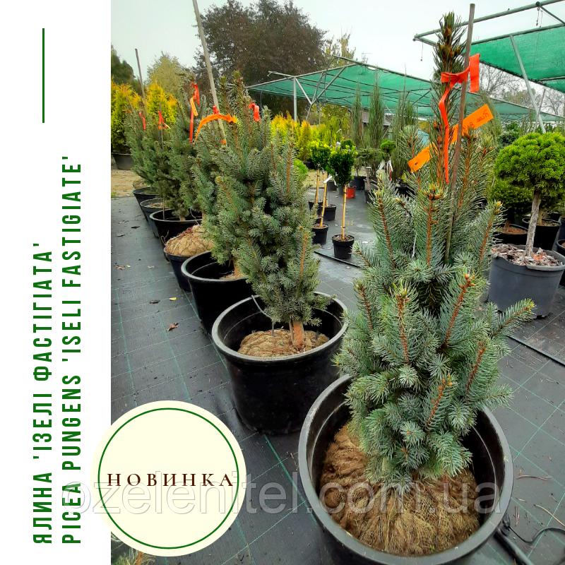 Ялина 'Ізелі Фастігіата' Picea pungens 'Iseli Fastigiate' h 70 - 80 м