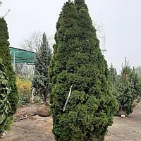 Ель канадская Коника/ Ялина канадська/ Коніка Picea glauca Conica від 1,3 - 2,5 м в наявності
