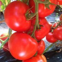 Семена томата Саймон F1 (Saimon F1), 500 сем., полудетерминантного