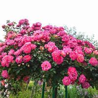 Роза штамбовая 4сезона