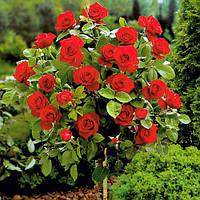 Роза штамбовая Ребел
