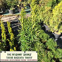 Тис ягідний 'Давид' Taxus baccata 'David' с 2 h - 35-40 см