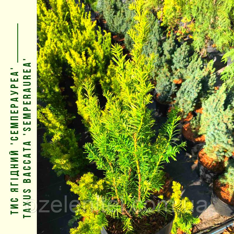 Тис Ягідний 'Семперауреа'/ Taxus baccata 'Semperaurea'с3, 2 h - 35-40 см