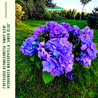 Гортензія Великолиста 'Амур Блю' Hydrangea macrophylla 'Amor blue' с 5