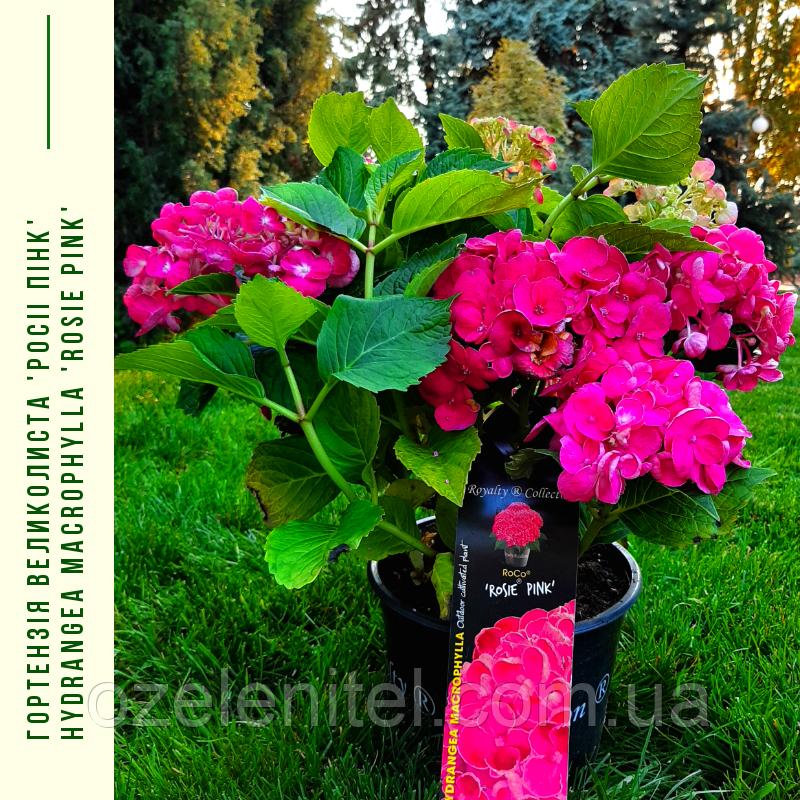 Гортензія Великолиста 'Росiі пінk' Hydrangea macrophylla 'Rosie pink' с 5