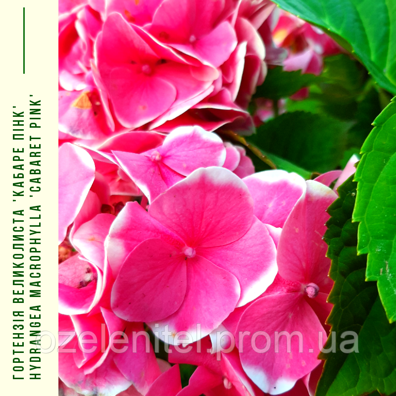 Гортензія Великолиста 'Кабаре Пінк' Hydrangea macrophylla 'Cabaret Pink' с 5