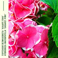 Гортензія Великолиста 'Кабаре Пінк' Hydrangea macrophylla 'Cabaret Pink' с 5, фото 1
