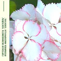 Гортензія Великолиста 'Коктейль' Hydrangea macrophylla 'Cocktail' с 5, фото 1