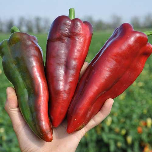 Семена сладкого перца Редкан F1, Clause 1 000 семян, Для выращивания в пленочных тоннелях, открытом грунте