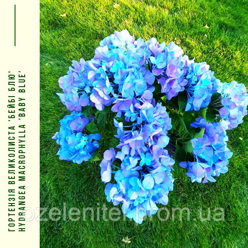 Гортензія Великолиста 'Бейбі Блю' Hydrangea macrophylla 'Baby Blue' с 5