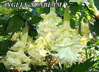 Бругмансия Angels Sunbeam