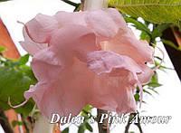 Бругмансия Dalen's Pink Amour