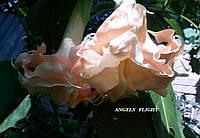Бругмансия Angels Flight, фото 1