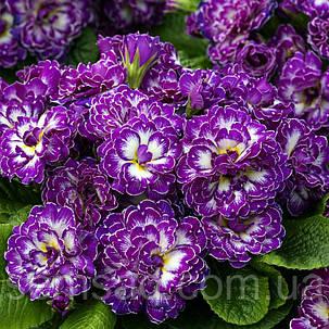 "Примула балерина махровая "" Пурпл Давн ""\  Primula ""Primula Belarina Purple Dawn '( садовая-саженцы), фото 2"