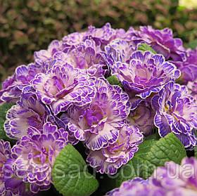 """Примула балерина махровая """" Ливели Лилас """"\  Primula """"Primula Belarina Lively Lilac ( садовая-саженцы)"""