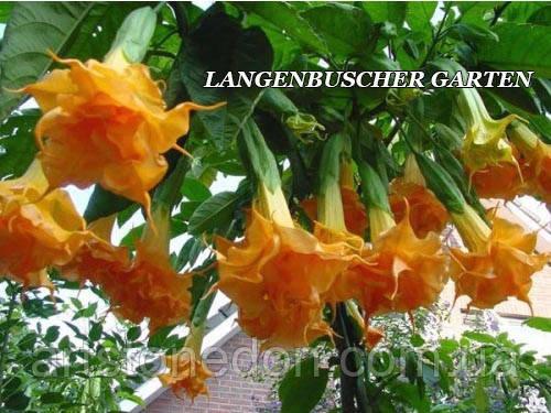Бругмансия Langenbusher Garten