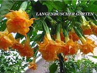 Бругмансия Langenbusher Garten, фото 1