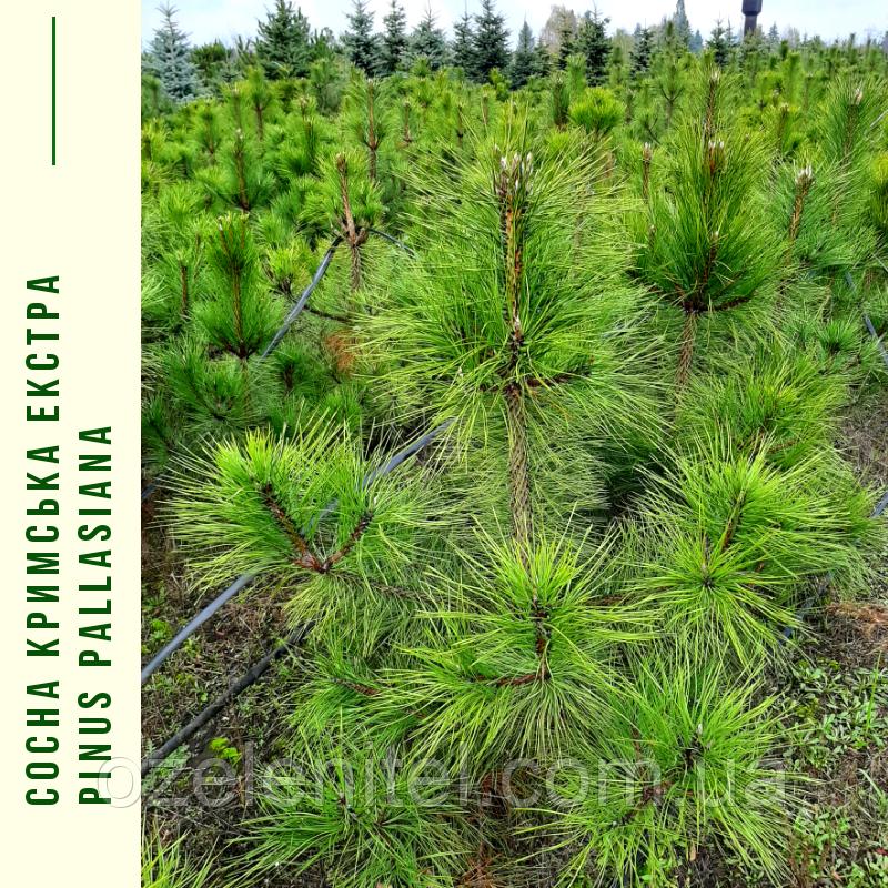 Сосна крымская/ Pinus рallasiana ЕКСТРА (Прищипленная) h 1,0-1,3 м
