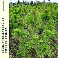 Сосна крымская/ Pinus рallasiana ЕКСТРА (Прищипленная) h 1,0-1,3 м, фото 1