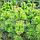 Сосна крымская/ Pinus рallasiana ЕКСТРА (Прищипленная) 1,51-1,7м, фото 3