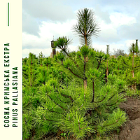 Сосна крымская/ Pinus рallasiana ЕКСТРА (Прищипленная) 1,51-1,7м, фото 1