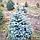 Ель колючая ф. Голубая/ Picea pungens f. Glauca ЭКСТРА1,2 - 1,4 м, фото 4