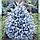 Ель колючая ф. Голубая/ Picea pungens f. Glauca ЭКСТРА1,2 - 1,4 м, фото 3