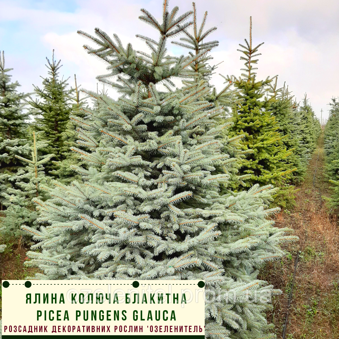 Ель колючая ф. Голубая/ Picea pungens f. Glauca ЭКСТРА1,2 - 1,4 м