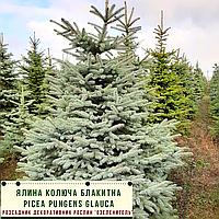 Ель колючая ф. Голубая/ Picea pungens f. Glauca ЭКСТРА1,2 - 1,4 м, фото 1