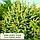 Ель колючая ф. Зеленая/ Picea pungens f. Glauca 1,2 - 1,4м, фото 2