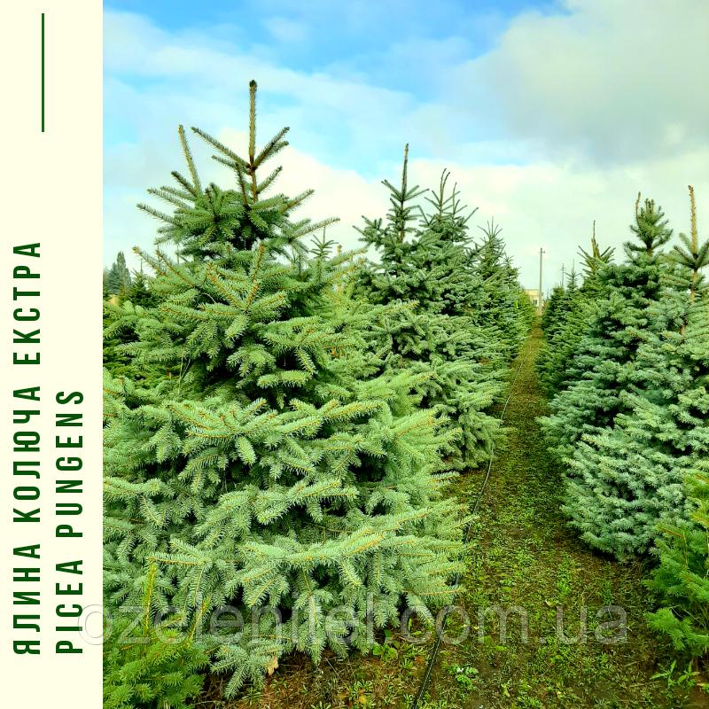 Ель колючая ф. зеленая / Picea pungens f. Glauca / Ялина колюча ф. зелена