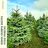 Ель колючая ф. зеленая / Picea pungens f. Glauca / Ялина колюча ф. зелена, фото 1