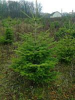 Пихта белая (Abies alba) высотой 1,0-1,8м