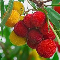 Земляничное дерево (семена)