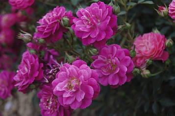 Роза штамбовая Пурпл Рейн