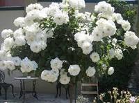 Роза штамбовая Айсберг