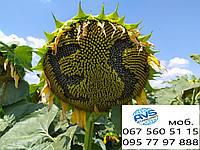 Семена подсолнечника под Гранстар ЕС АЛЬФА. Урожайный гибрид АЛЬФА устойчивый к засухе и болезням. Экстра, фото 1
