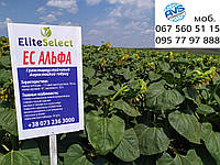 Мы стартовали. Семена подсолнечника под Гранстар ЕС АЛЬФА. Урожайный гибрид АЛЬФА 35 ц/га, устойчивый к засухе и болезням. Экстра и Стандарт фракции по складу урожая 2019 года.