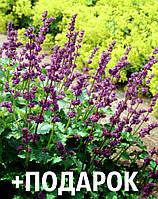 Шалфей мутовчатый семена 10 шт шавлія сальвия насіння (Salvia verticillata) + подарок + инструкции