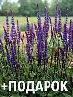 Шалфей дубравный семена 10 шт шавлія сальвия насіння (Salvia nemorosa) + подарок + инструкции