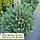 Сосна звичайна 'Ватерері'/Pinus sylvestris 'Watereri'  h 1,0-1,2 м, фото 4